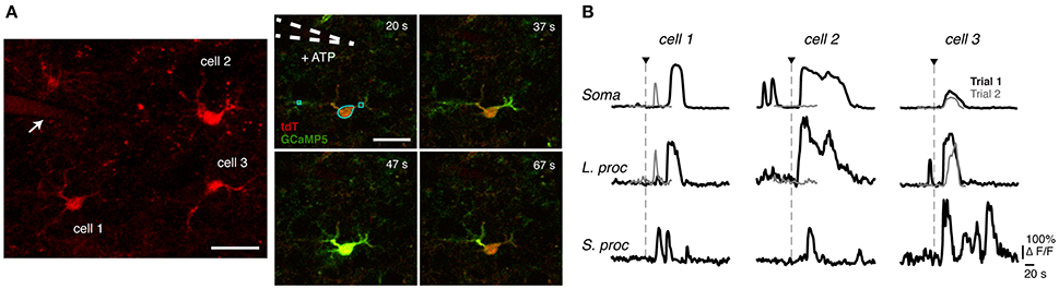 Frontiers   Diversity of Evoked Astrocyte Ca2+ Dynamics