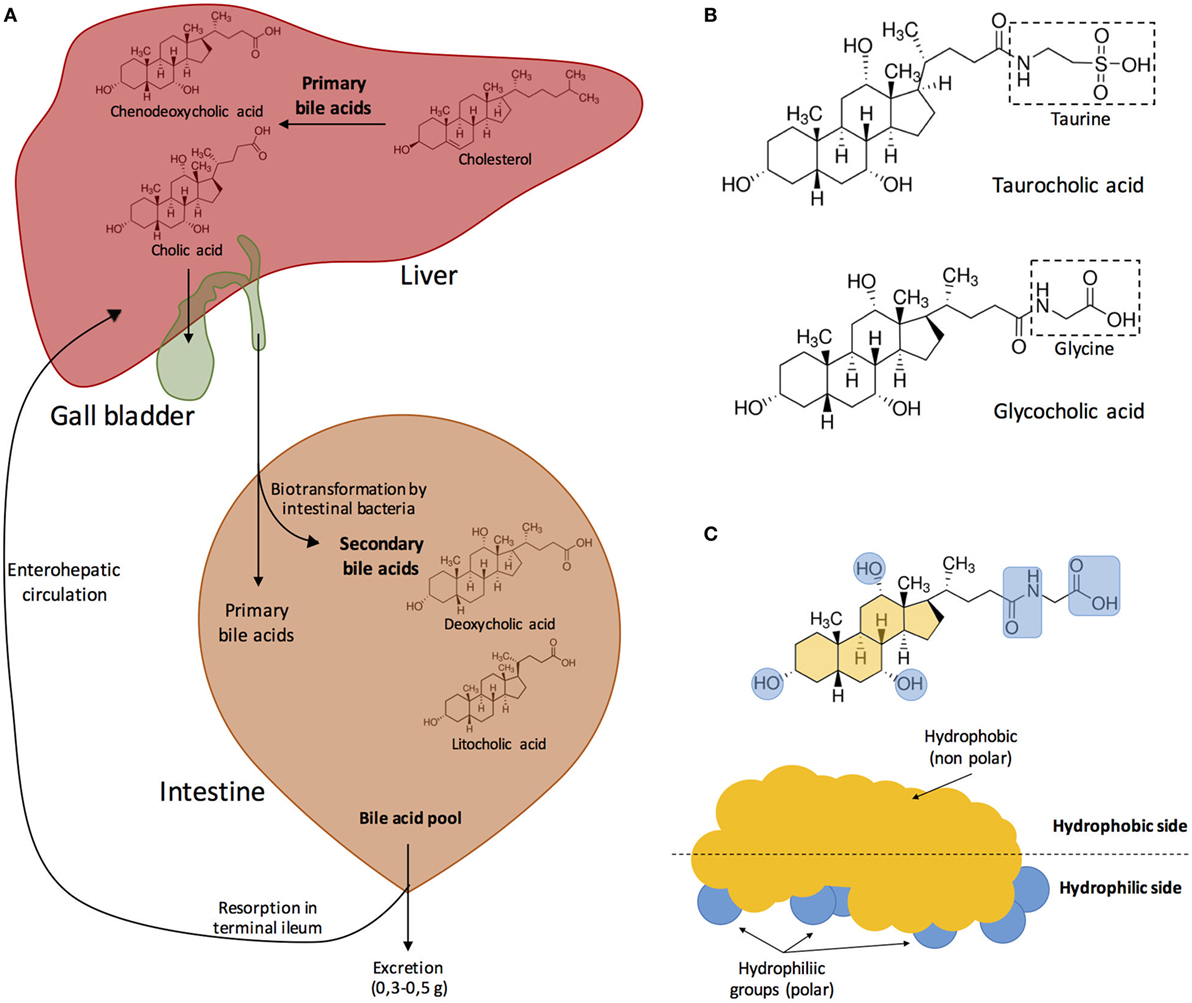 Frontiers Interactions Between Bacteria And Bile Salts In The