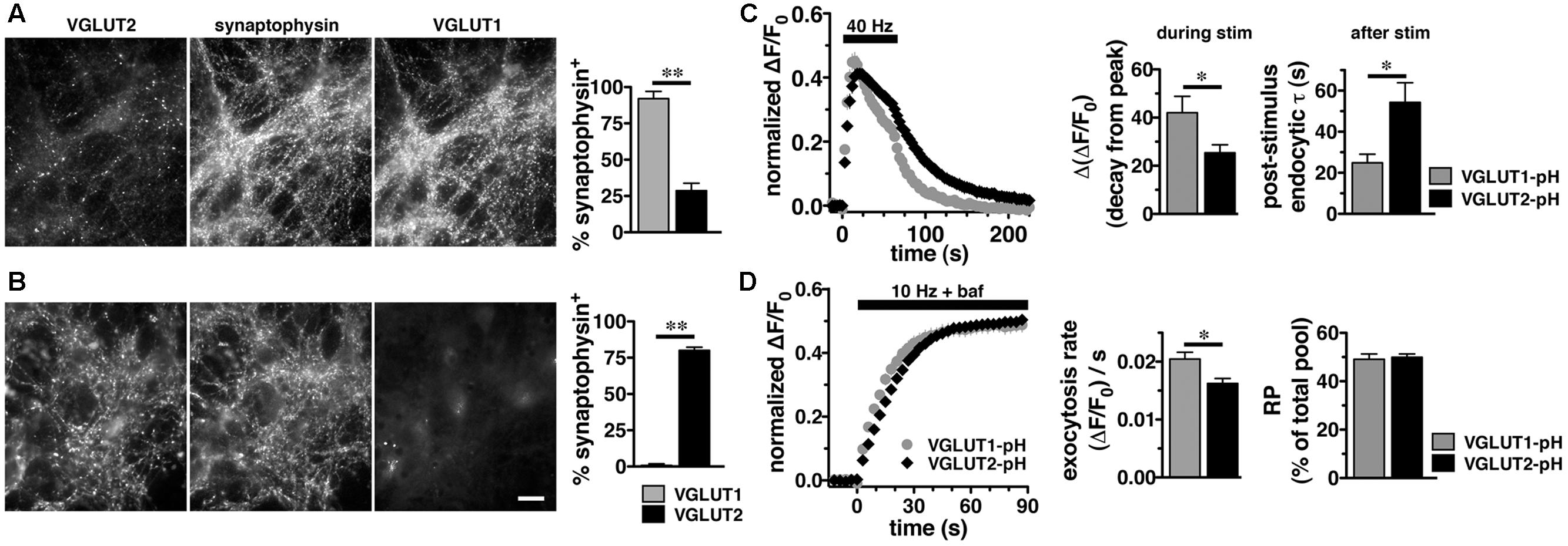 Frontiers Vglut2 Trafficking Is Differentially Regulated By Likewise Nimh Battery Charger Circuit Diagram On Cell