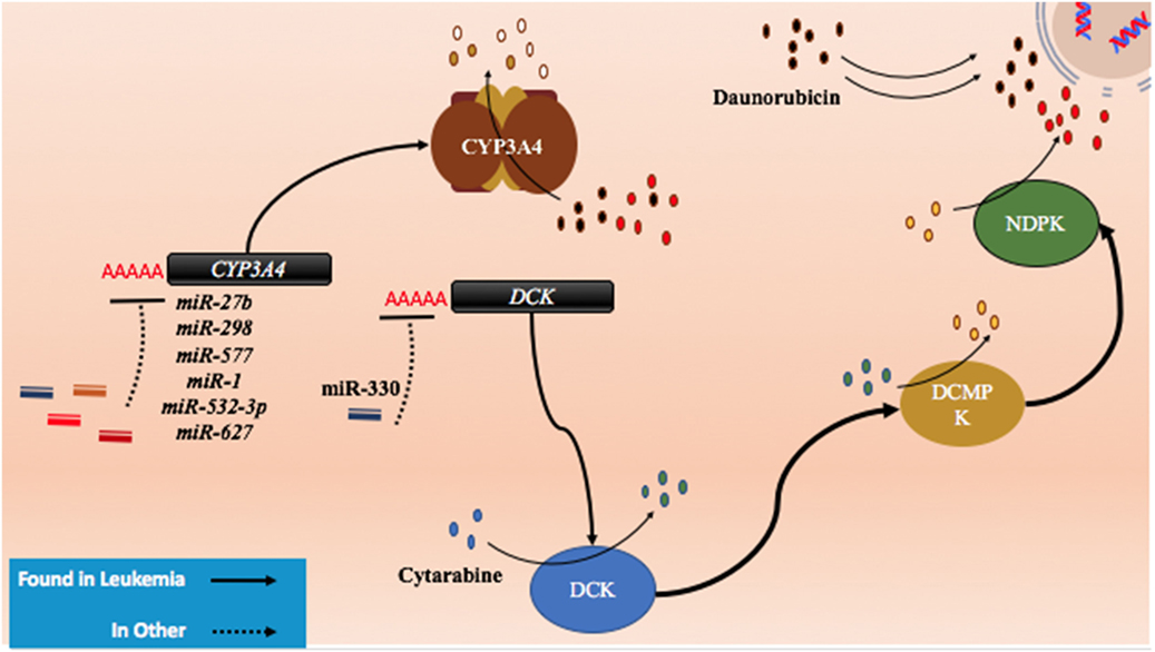 Frontiers | microRNAs and Acute Myeloid Leukemia