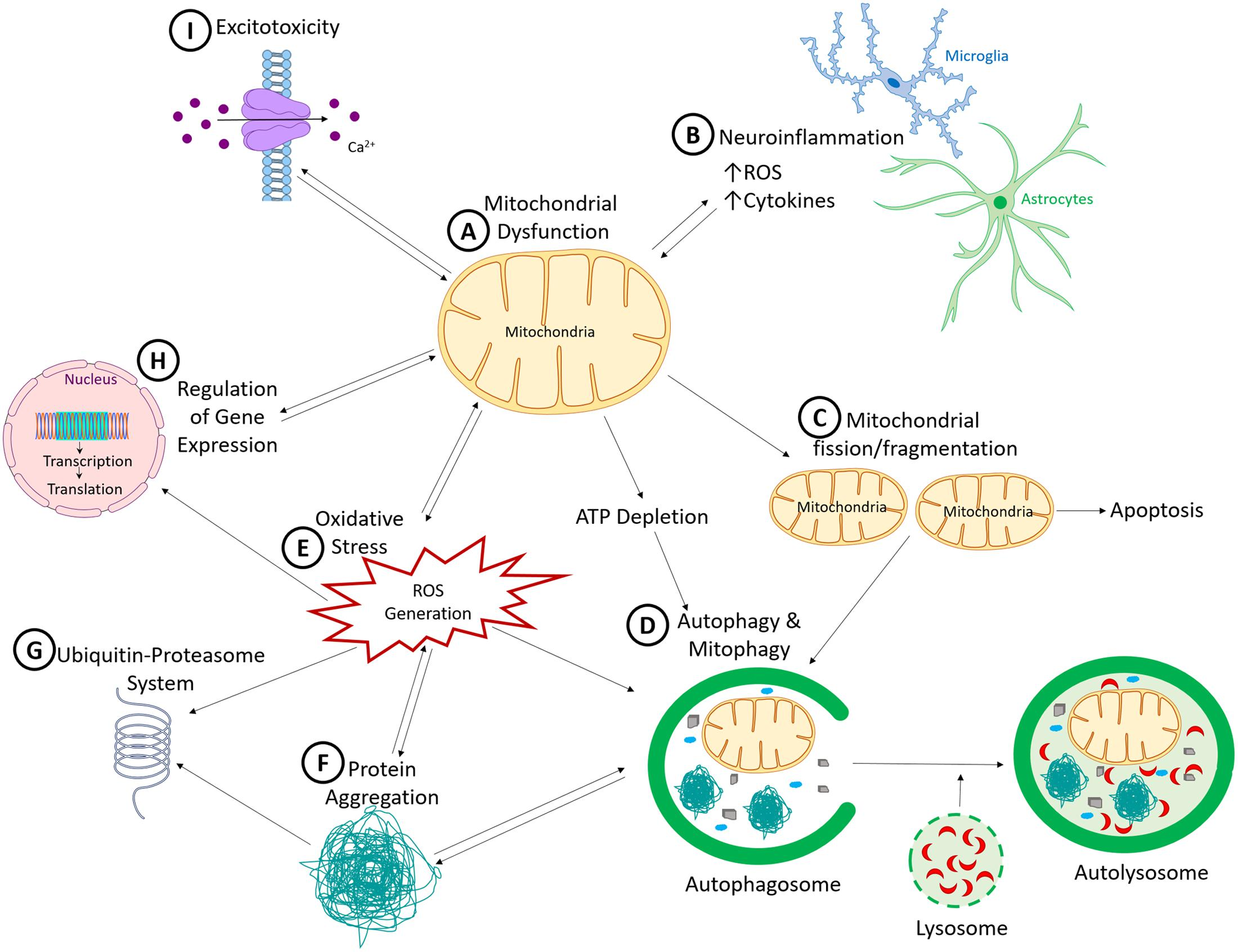 Mitochondrial Deficits In Children With >> Frontiers Mitochondria A Common Target For Genetic Mutations And