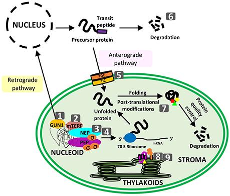 Plastid Proteostasis Relevance Of Transcription Translation And