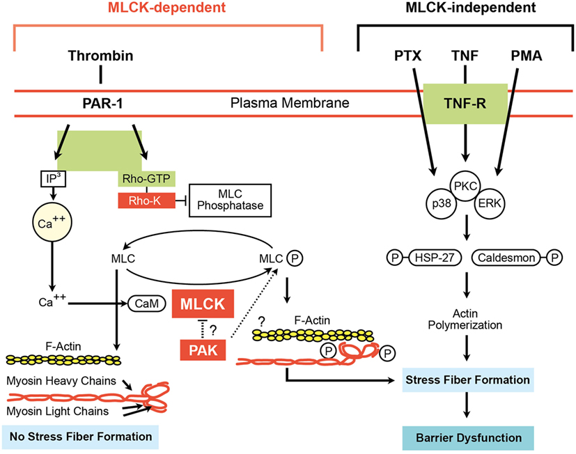 Frontiers | Cytokine–Ion Channel Interactions in Pulmonary