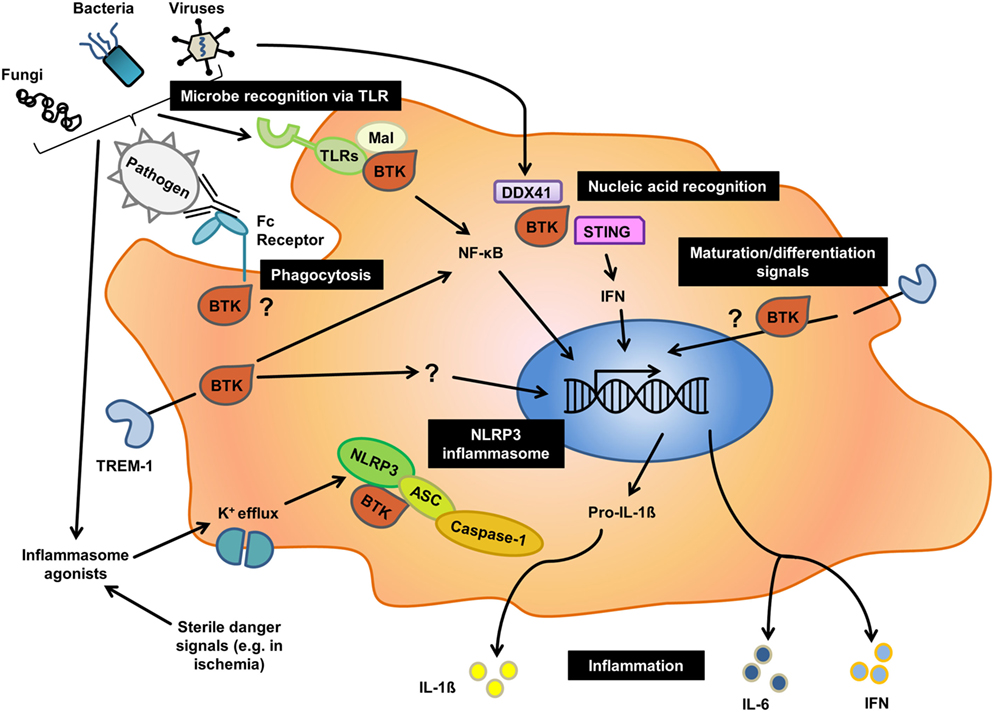 Frontiers Bruton S Tyrosine Kinase An Emerging Key Player