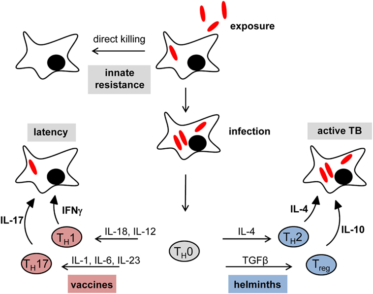 Frontiers Review Impact Of Helminth Infection On