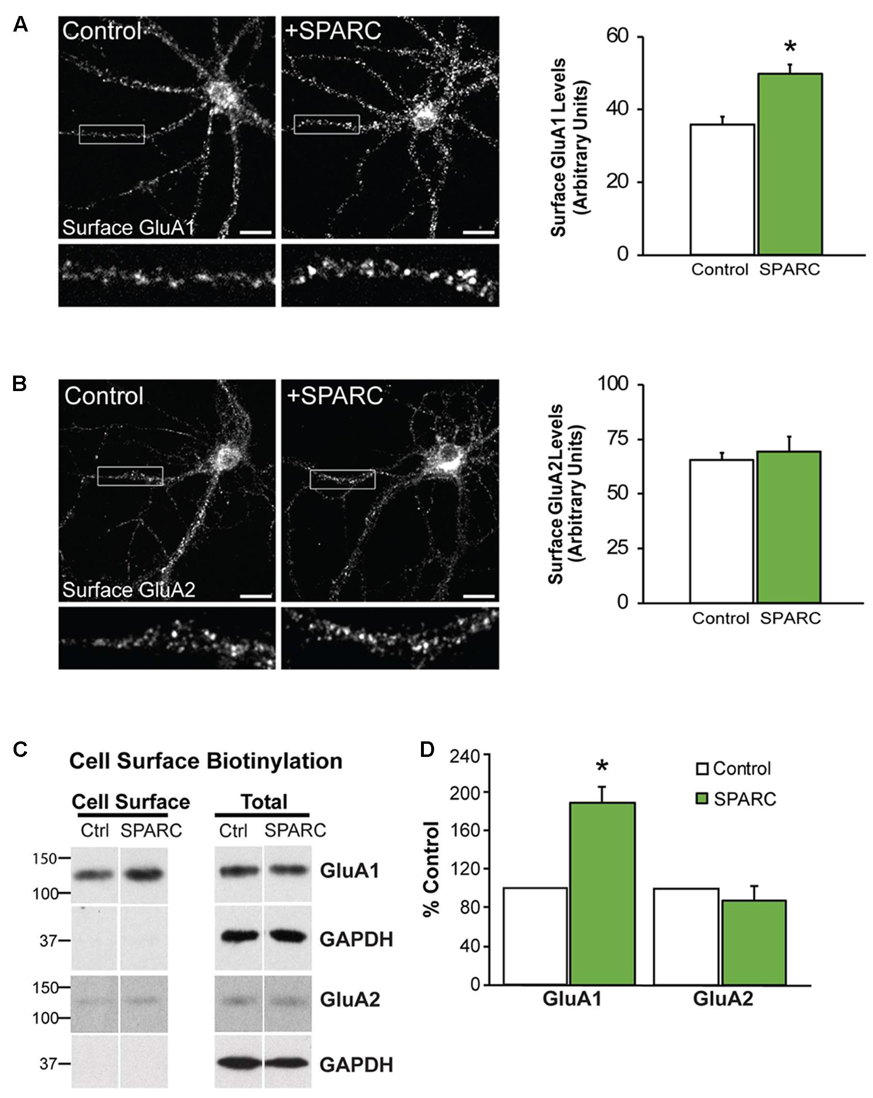 Frontiers | SPARC and GluA1-Containing AMPA Receptors