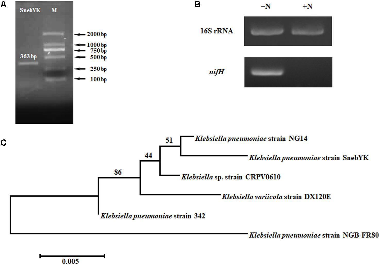 Frontiers   Klebsiella pneumoniae SnebYK Mediates Resistance