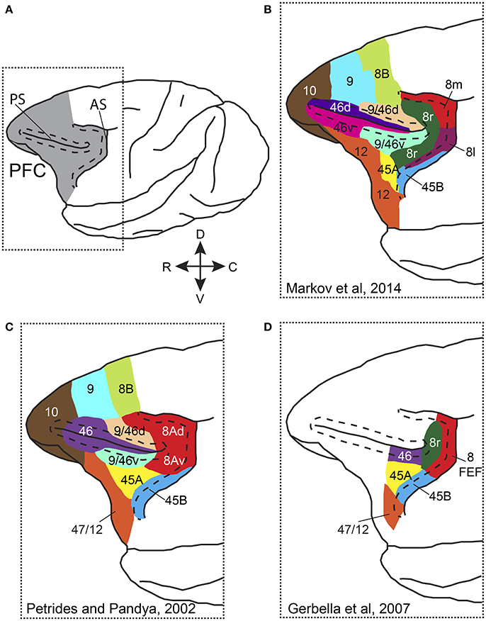 Research Identifies Complex Of Neurons Crucial To Controlling Attention >> Frontiers Top Down Control Of Visual Attention By The