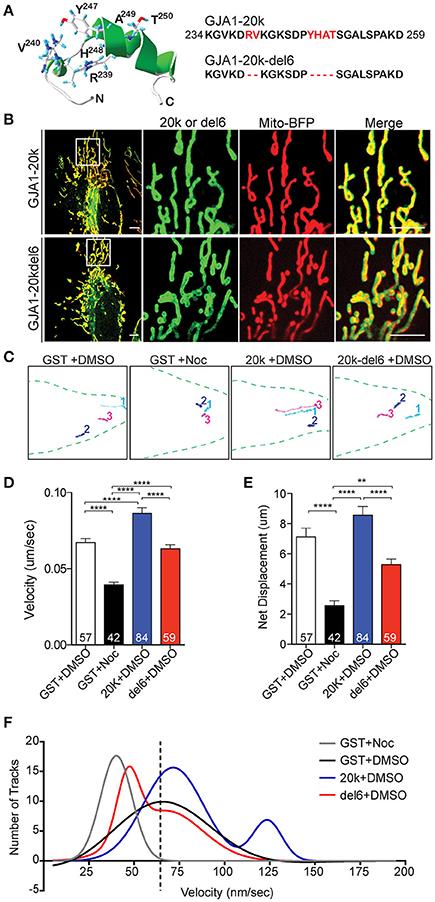 Frontiers | Cx43 Isoform GJA1-20k Promotes Microtubule