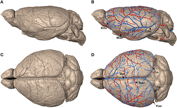 Frontiers Precise Cerebral Vascular Atlas In Stereotaxic