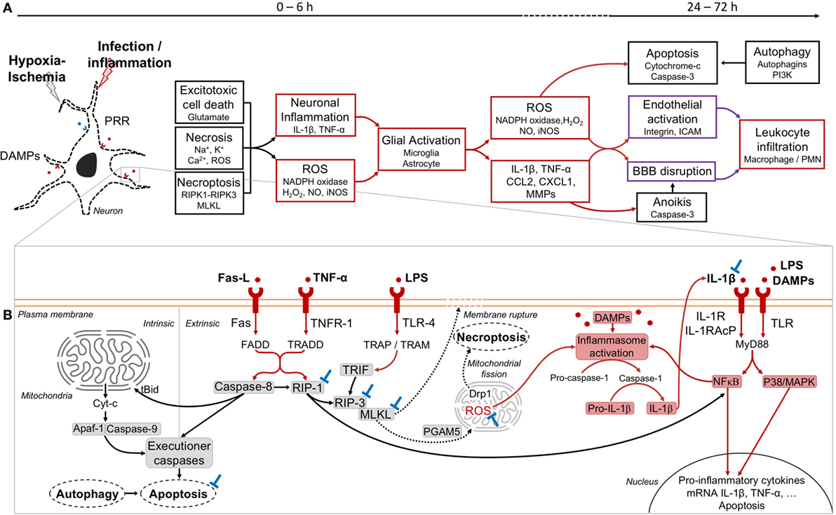 Download Acute Neuronal Injury The Role Of Excitotoxic Programmed Cell Death Mechanisms