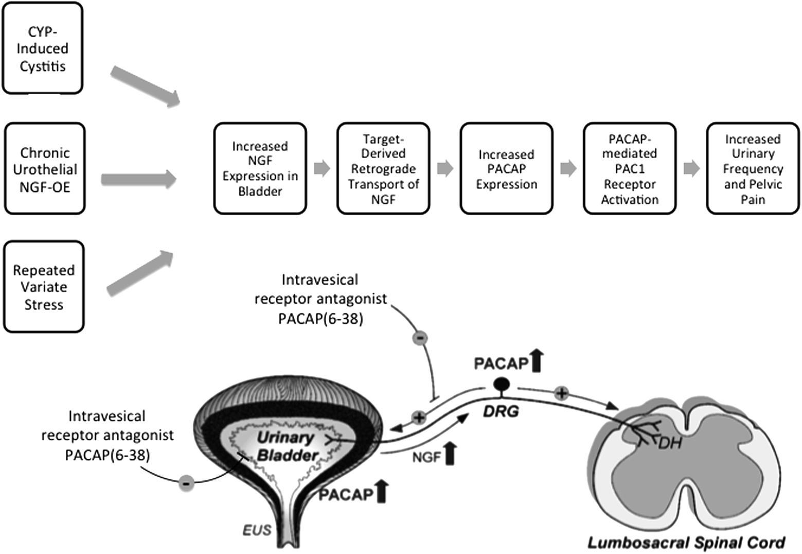Frontiers   PACAP/Receptor System in Urinary Bladder