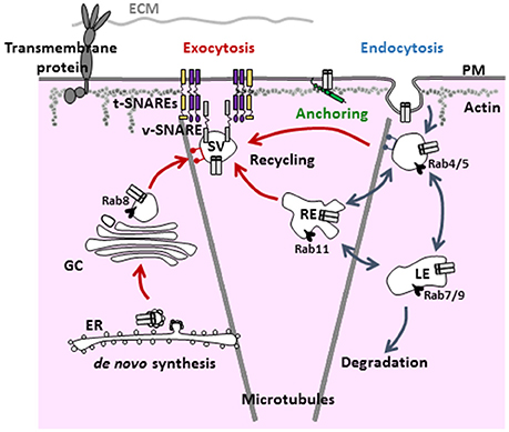 Frontiers | Ion Channel Trafficking: Control of Ion Channel