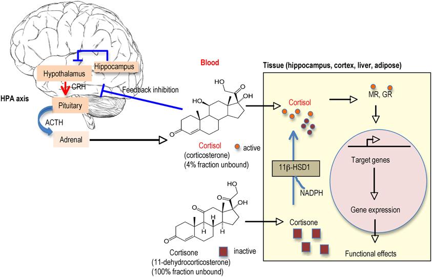3beta hydroxysteroid dehydrogenase deficiency 3b hsd