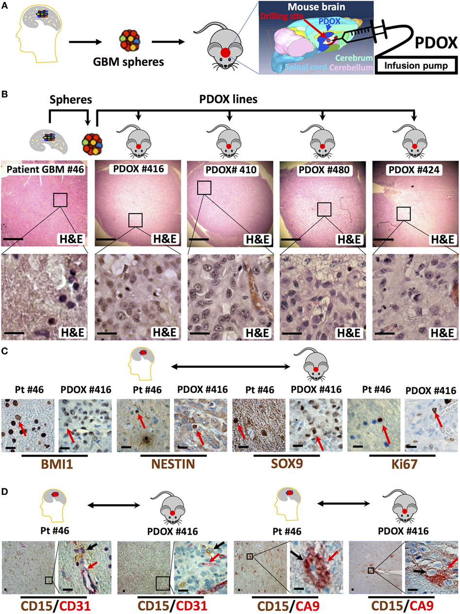 In vivo cancer PTT in xenograft nude mice models with C6