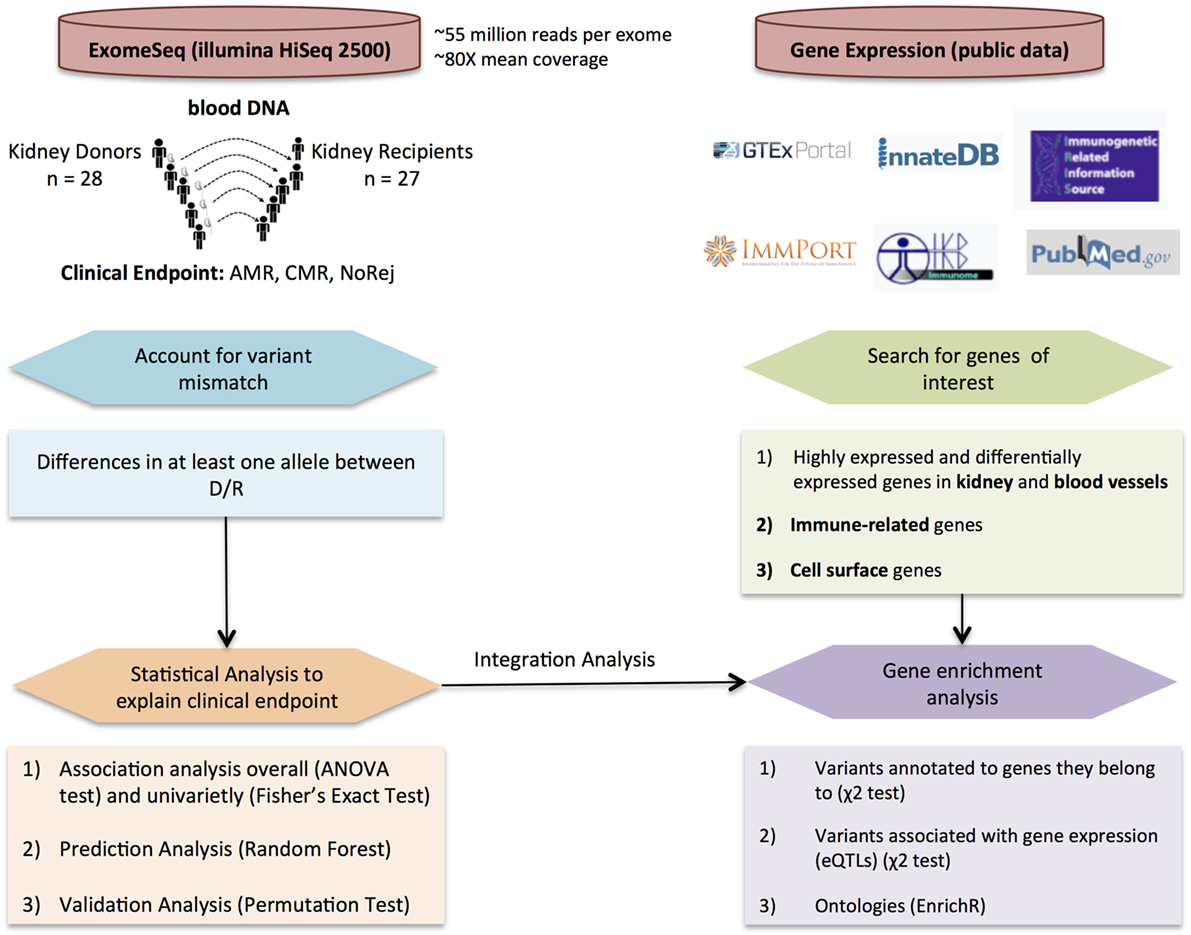 Frontiers | Novel Non-Histocompatibility Antigen Mismatched Variants