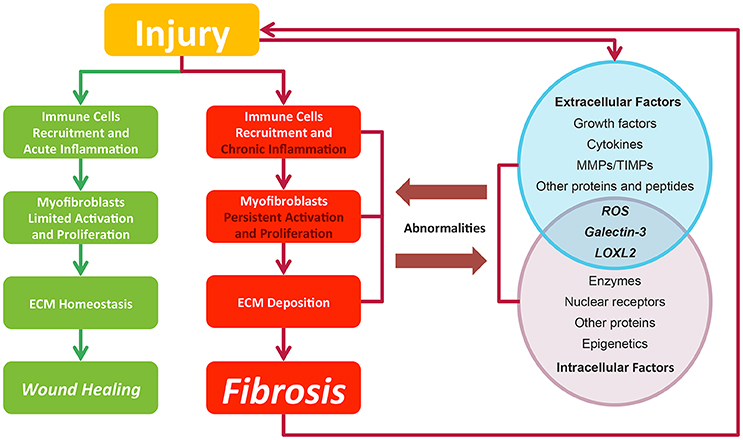 Frontiers | Drugs and Targets in Fibrosis | Pharmacology