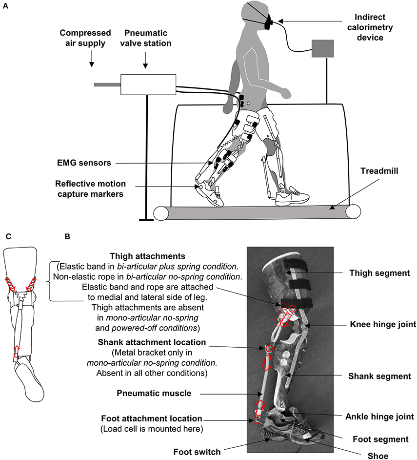 Frontiers Bi Articular Knee Ankle Foot Exoskeleton Produces Higher