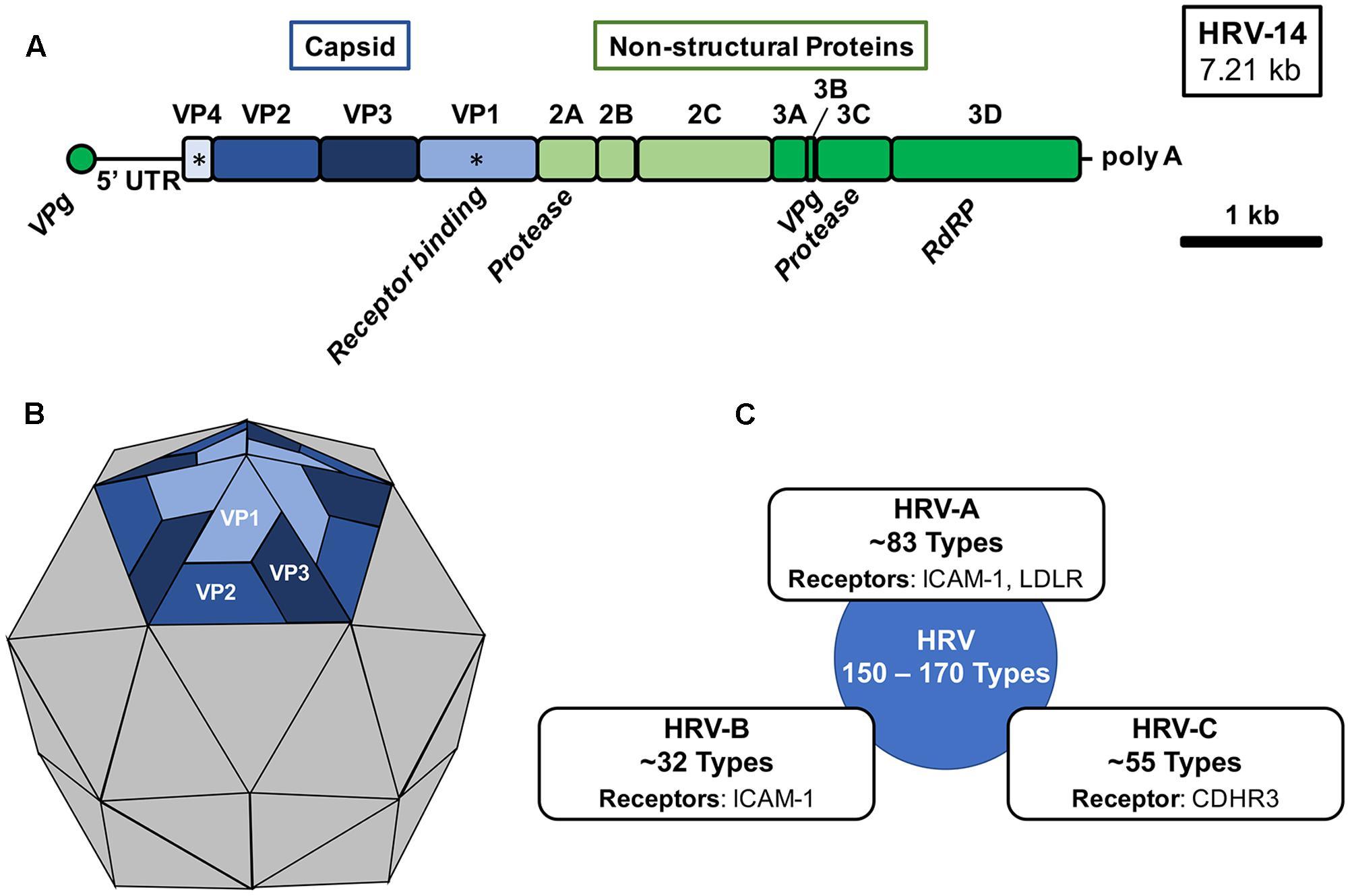 Frontiers Rhinovirus Biology Antigenic Diversity And Line Electrical Diagram Symbols Additionally Single