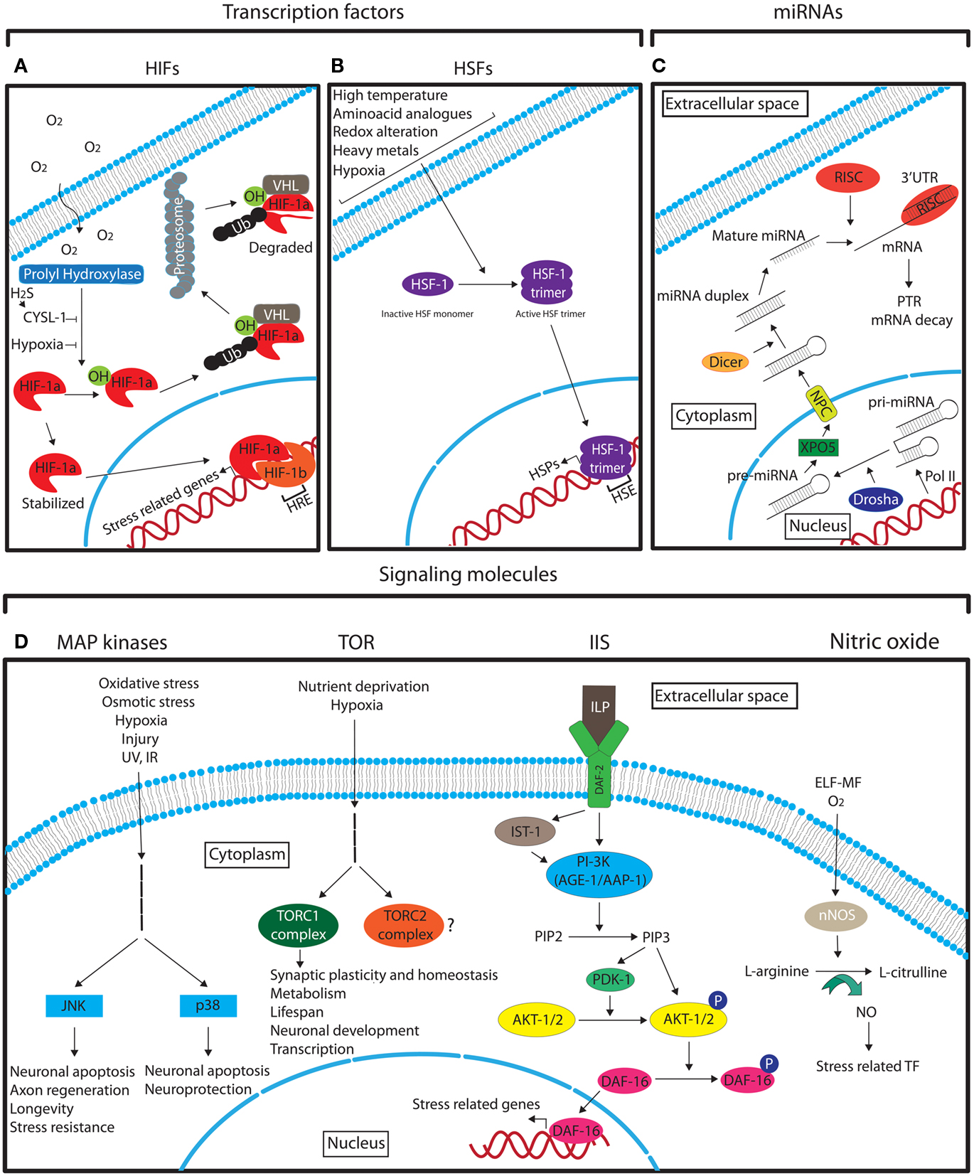 Neuronal Responses To Physiological Stress