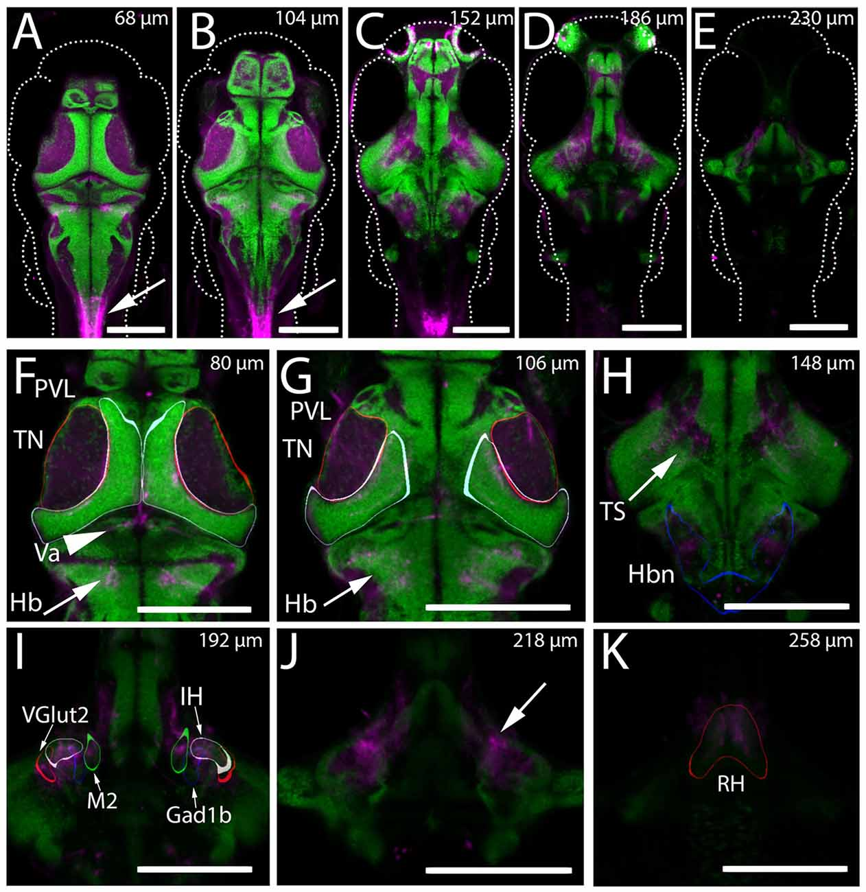 Frontiers | Hypothalamic Projections to the Optic Tectum in ... on