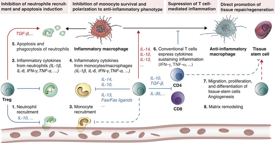 Frontiers | Regulatory T-Cells: Potential Regulator of