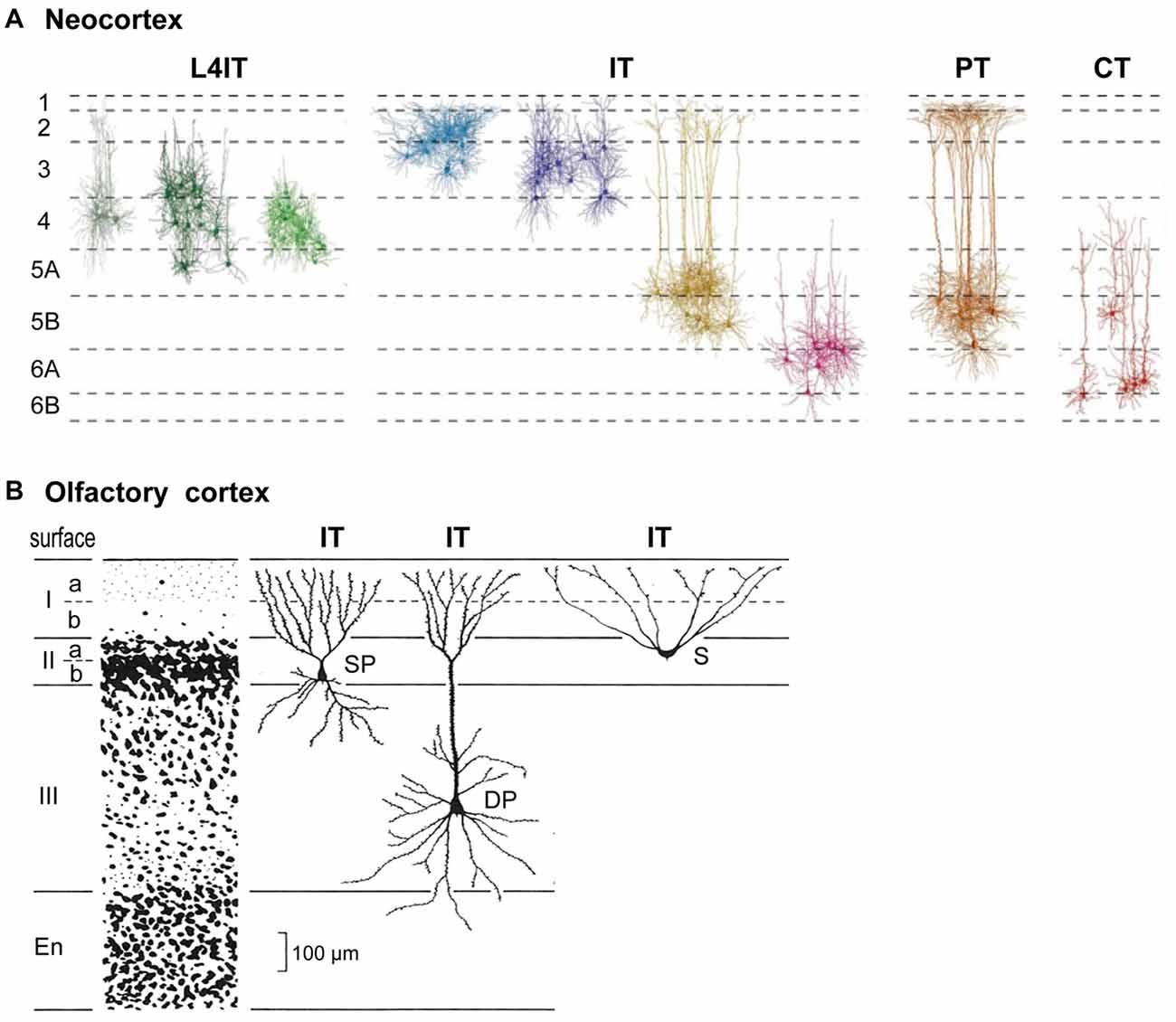 Neocortex: Neocortical Lamination: Insights From Neuron