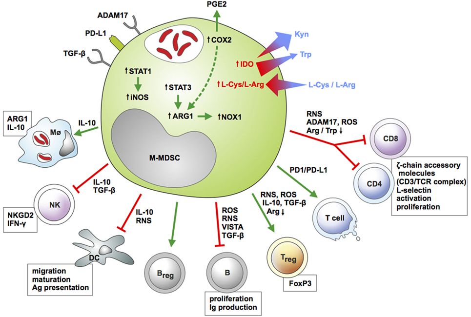 B Cells and T Cells  Biology Pages