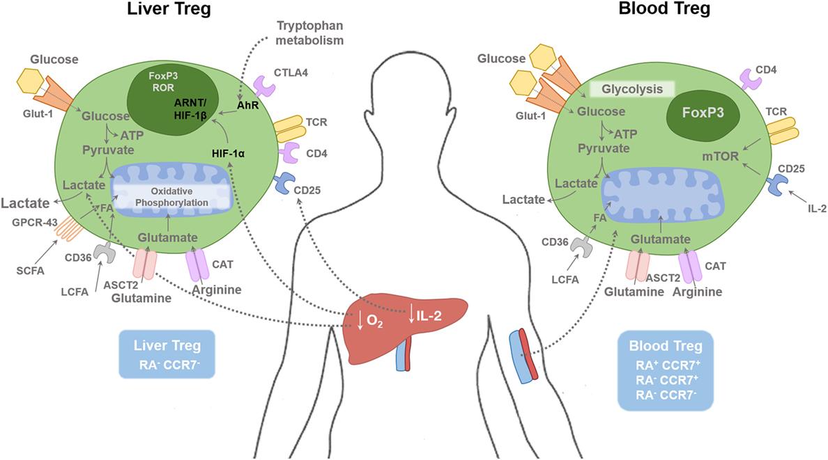 Frontiers | Regulatory T Cell Metabolism in the Hepatic