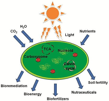 Frontiers Cyanobacterial Farming For Environment Friendly Sustainable Agriculture Practices Innovations And Perspectives Environmental Science