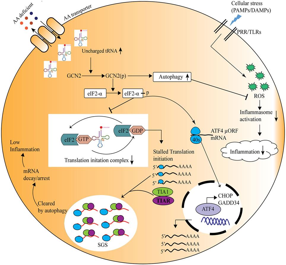 Frontiers | Amino Acid Sensing via General Control
