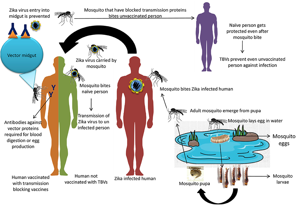 Frontiers | Prevention and Control Strategies to Counter Zika Virus