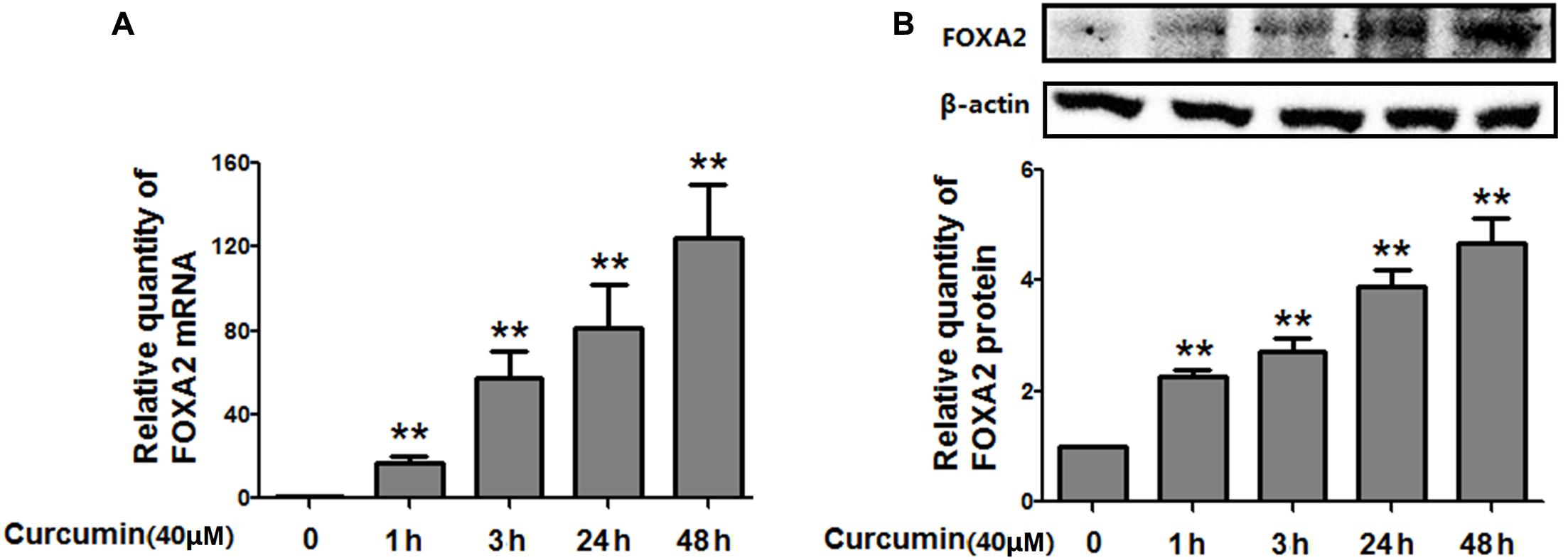 Frontiers | Curcumin Inhibits Growth of Human NCI-H292 Lung Squamous