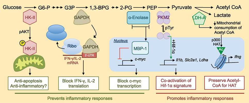 enzymatic diagram of glycolysis frontiers exploring non metabolic functions of glycolytic  exploring non metabolic functions of