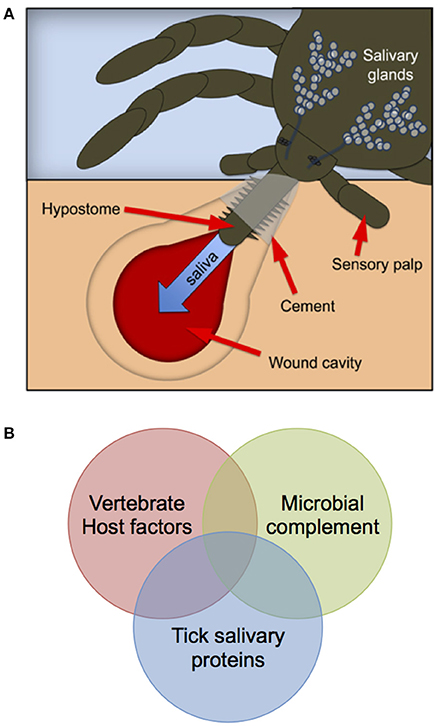 Frontiers A Roadmap For Tick Borne Flavivirus Research In The