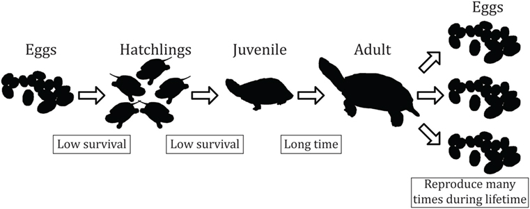 Figure 2 - General life cycle of a turtle.