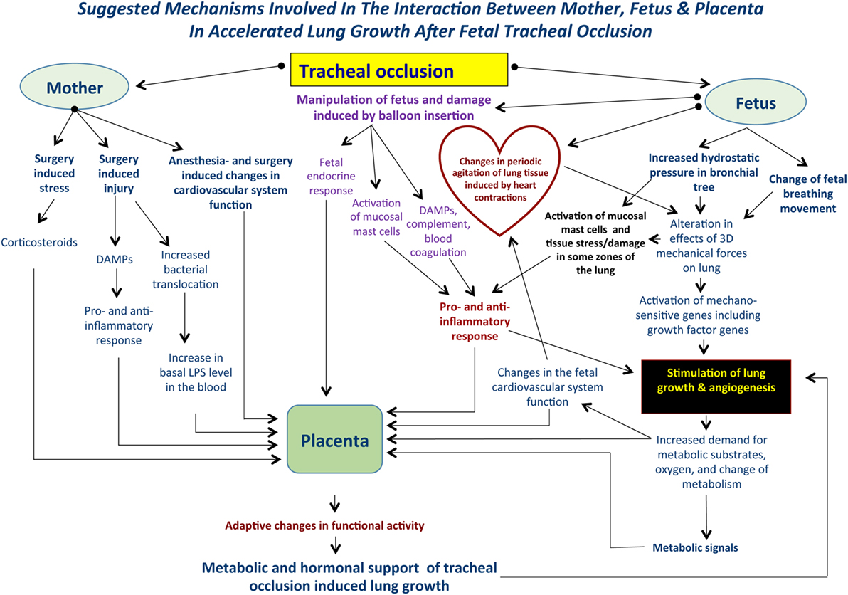 Frontiers | Suggested Mechanisms of Tracheal Occlusion