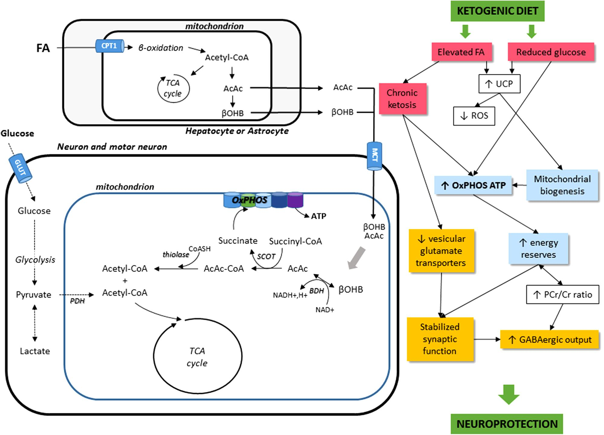 Frontiers | How Can a Ketogenic Diet Improve Motor Function? | Frontiers in Molecular Neuroscience