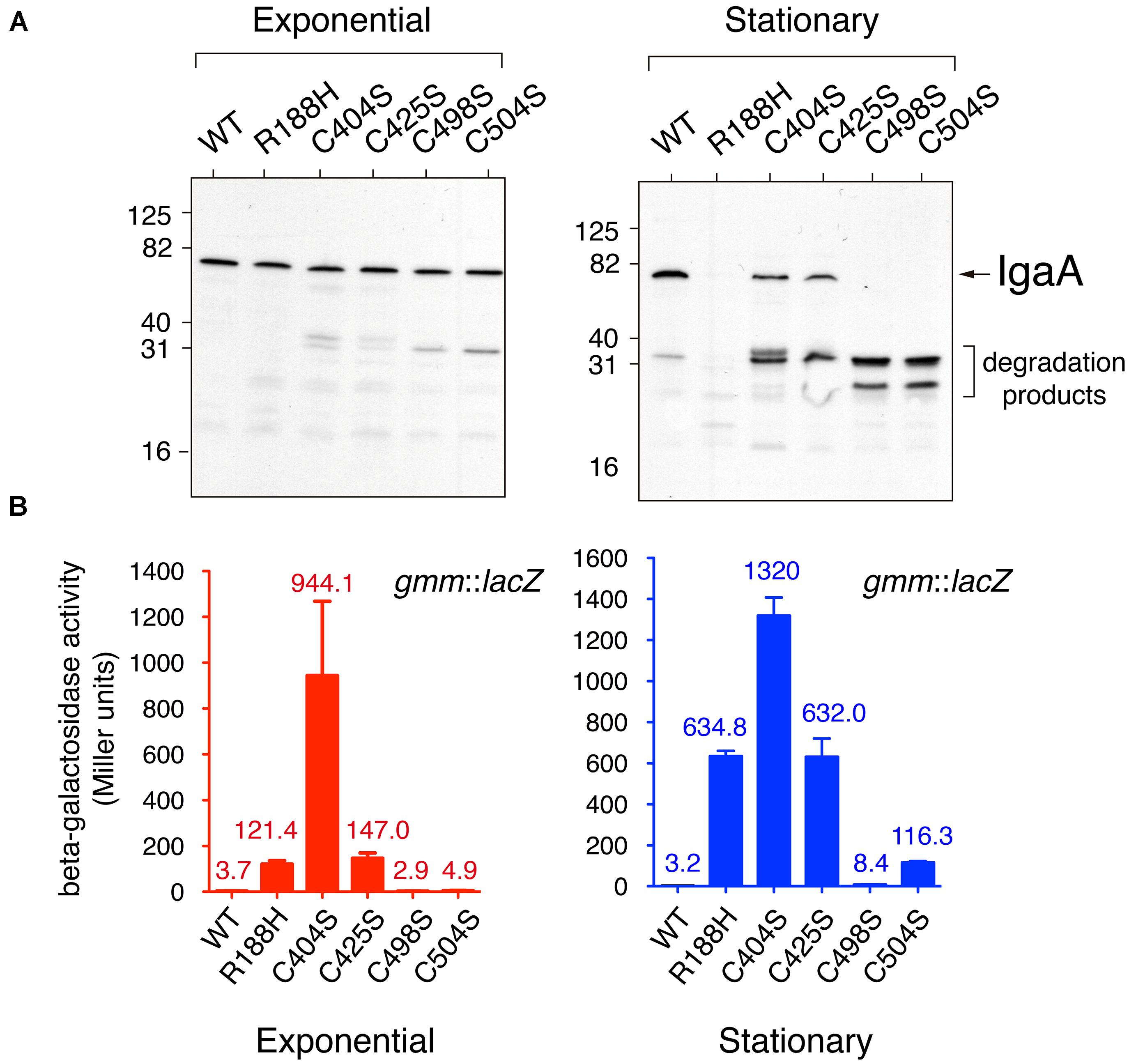 Frontiers | A Disulfide Bond in the Membrane Protein IgaA Is