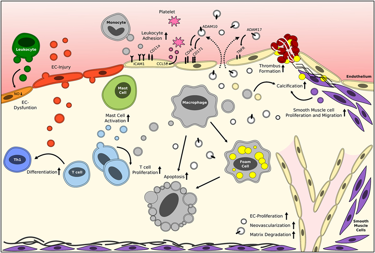role of inflammation in atherosclerosis Leukocytes, the type of white blood cells which is typically involved in most inflammatory reactions in the body, appear to play a significant role in atherosclerosis leukocyte recruitment to the arterial wall is an important initial step in the formation of atherosclerotic lesions.