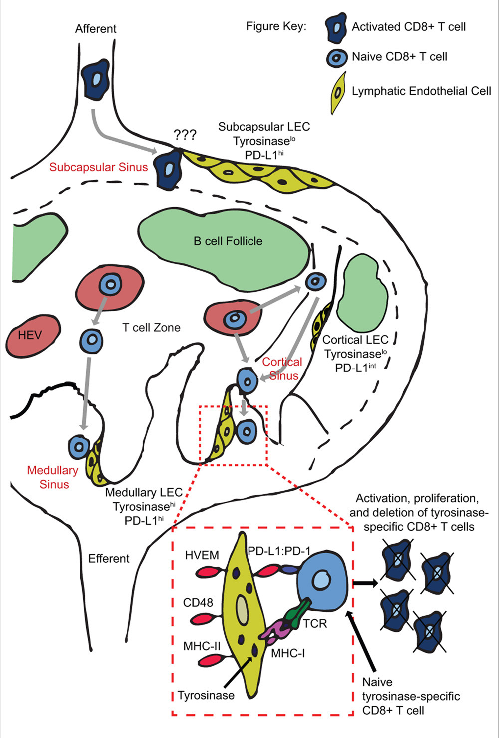 Frontiers | Lymphatic endothelial cells - key players in ...