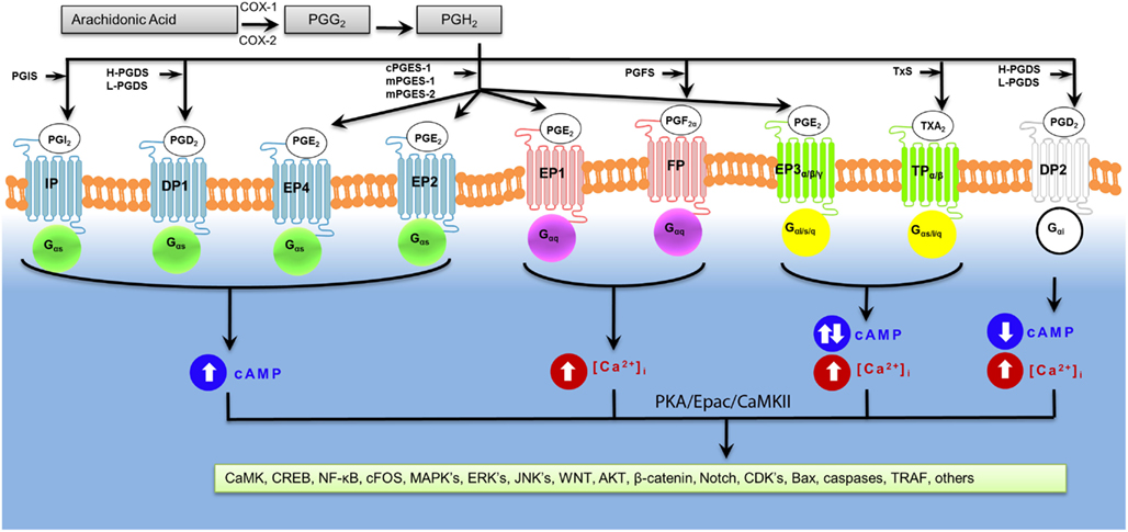 prostaglandin e2 ep3 receptor regulates cyclooxygenase 2 However, whether and how pge2 regulates hepatic  we found that expression  of the pge2 receptor, e prostanoid receptor 3 (ep3)  cox-1, cyclooxygenase 1  cox-2, cyclooxygenase 2 cyp7a1, cholesterol 7a-hydroxylase dr1, direct.