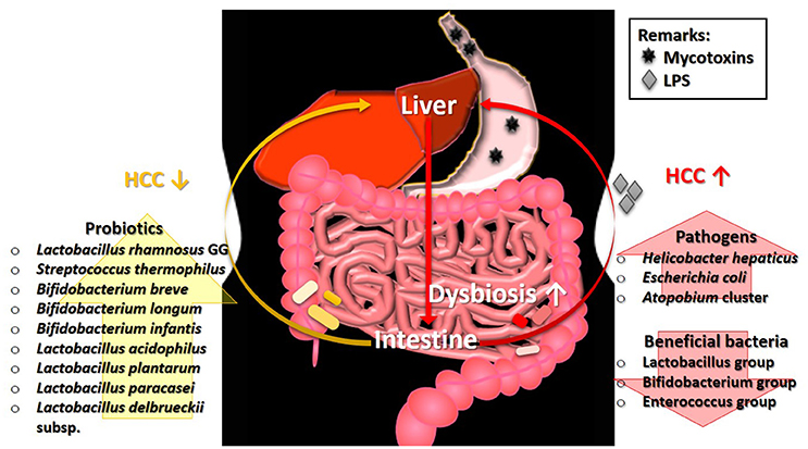 Frontiers | Mycotoxin: Its Impact on Gut Health and Microbiota