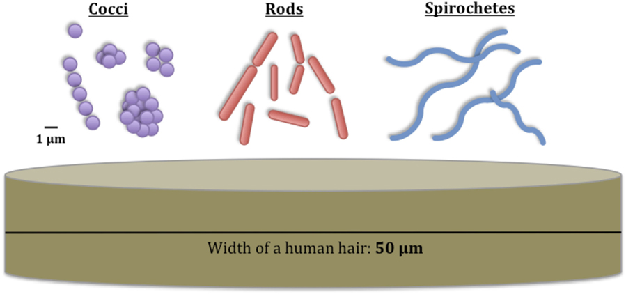 Figure 1 - These are the different shapes of bacteria and their sizes compared with the width of a human hair.