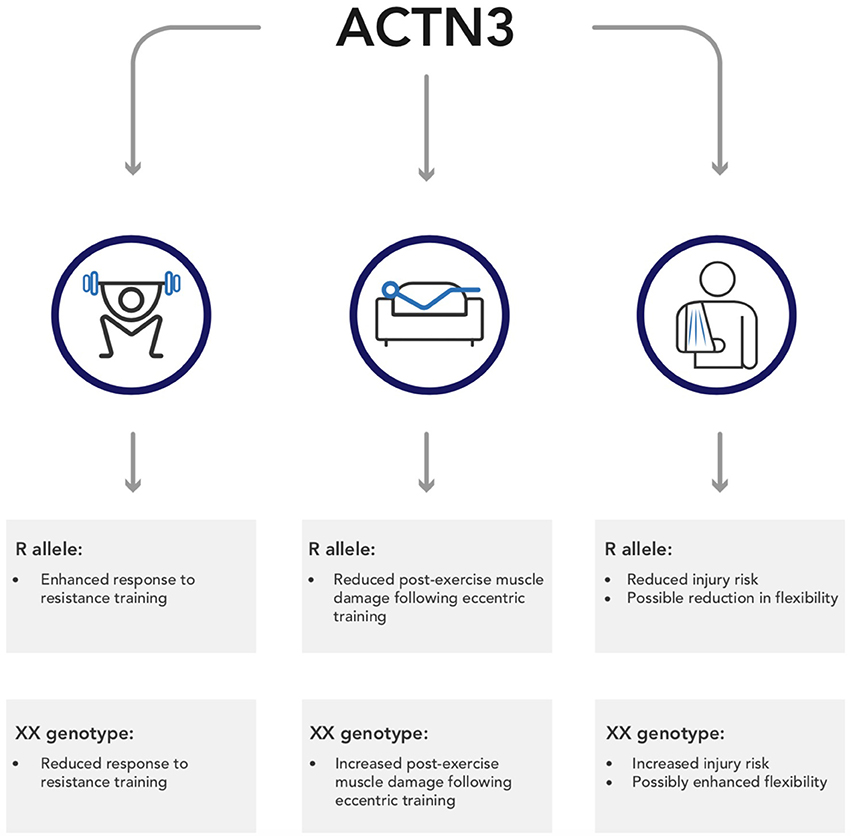Frontiers | ACTN3: More than Just a Gene for Speed | Physiology
