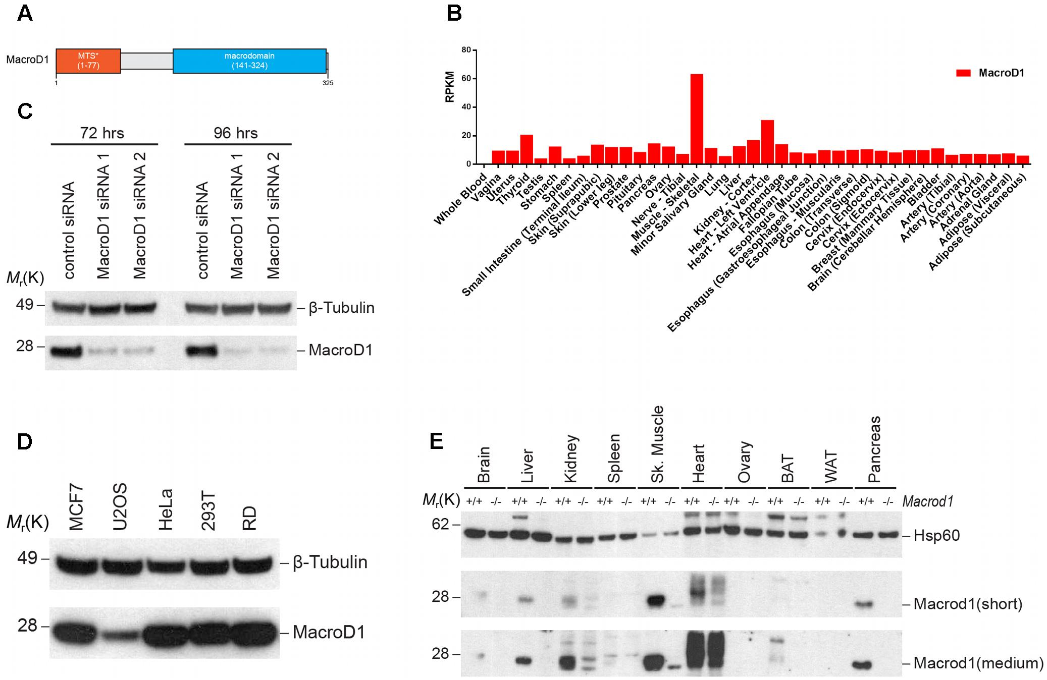 Frontiers | MacroD1 Is a Promiscuous ADP-Ribosyl Hydrolase