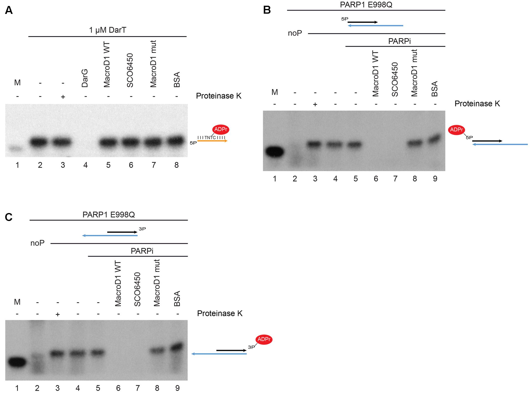 Frontiers Macrod1 Is A Promiscuous Adp Ribosyl Hydrolase Localized Of Series Circuits Whereby Components Share The Same Current