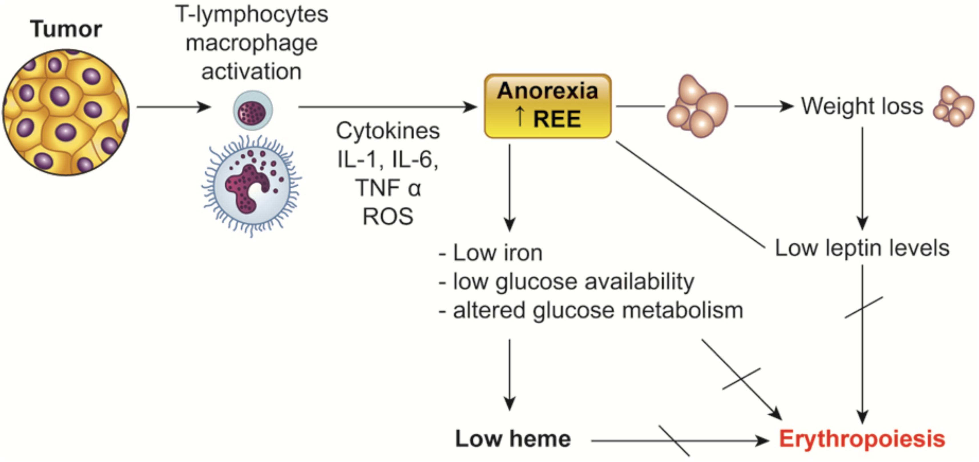 Frontiers Pathogenesis And Treatment Options Of Cancer Related Anemia Perspective For A Targeted Mechanism Based Approach Physiology