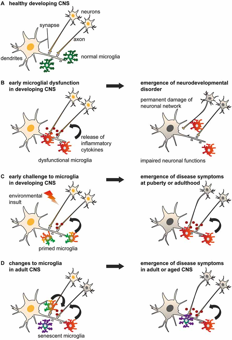 Frontiers | Microglia Gone Rogue: Impacts on Psychiatric