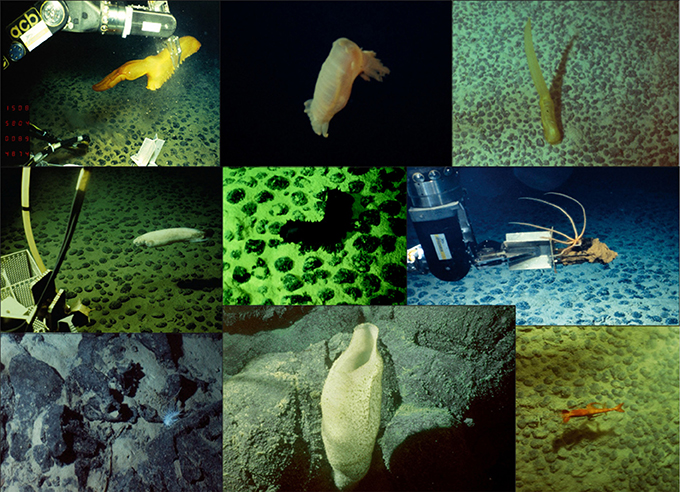 Frontiers The Benthic Megafaunal Assemblages Of The Ccz Eastern